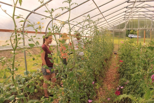 Greenhouse Tomato Trelising