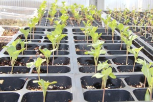 Cauliflower Seedlings
