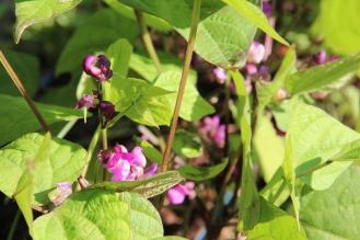Burgandy Bush Bean