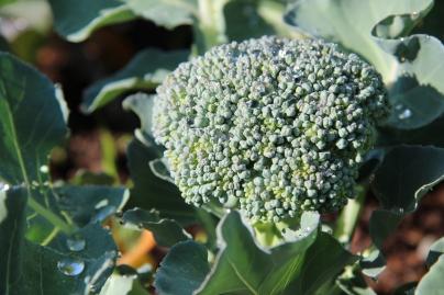 Green King Broccoli