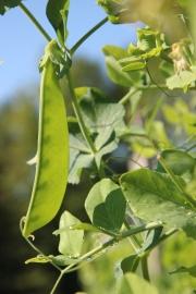 Oregon Giant Peas