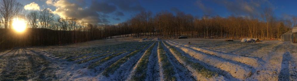 Rows of winter rye