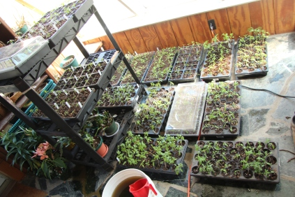 Seed trays filling the sun room