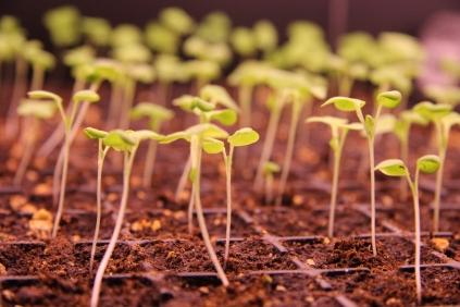 Seedlings reaching for the light
