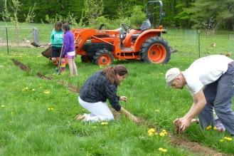 Planting Raspberries