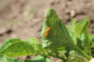 Potato Beetle Eggs