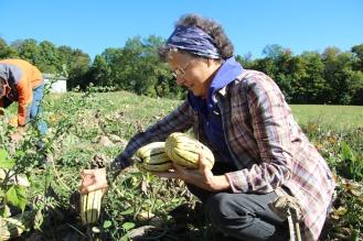 Picking delicata squash
