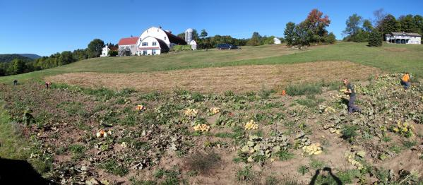 Pumpkin piles in the field