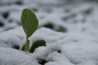 Snow covered Brussel Sprout
