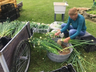 Cleaning scallions