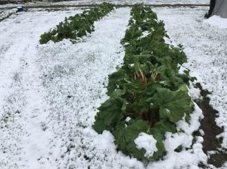 Snow Rhubarb