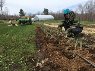 Onion transplanting