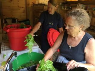 Washing Salad Mix