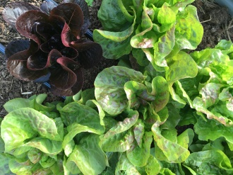 Head Lettuce Ready for Harvest