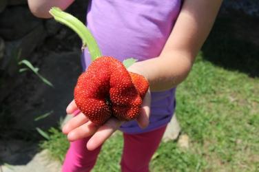A Strawberry Odity